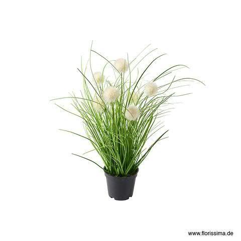 Gras Allium 40cm x7 im Topf, weiß