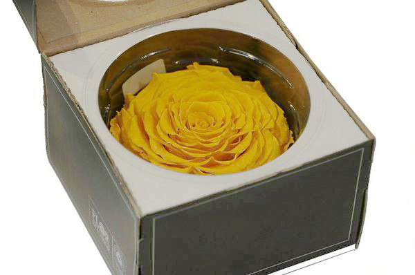 Rose stabilisiert D10cm, gelb