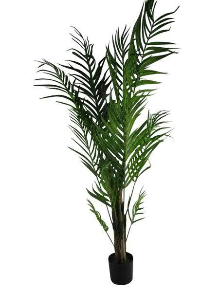 Palme Areca im Topf 210cm x24 692Bl., grün