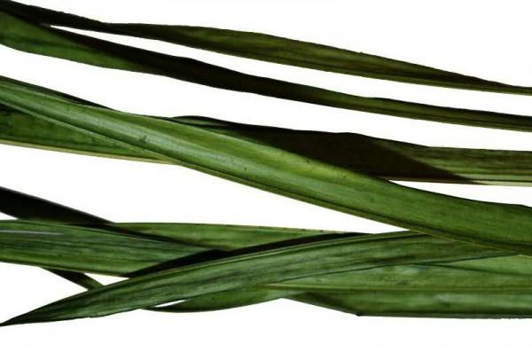 Long Palm SP 10St. 200cm, oliv