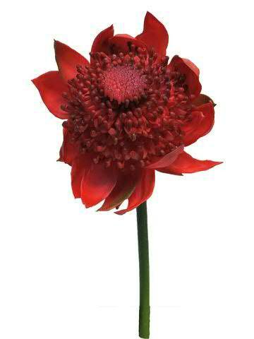 Protea 33cm, rot