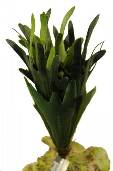 Geweihfarn 27cm, grün