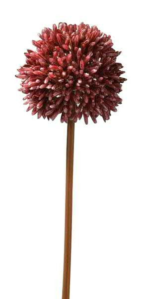 Allium 50cm Herbst, dunkelrot