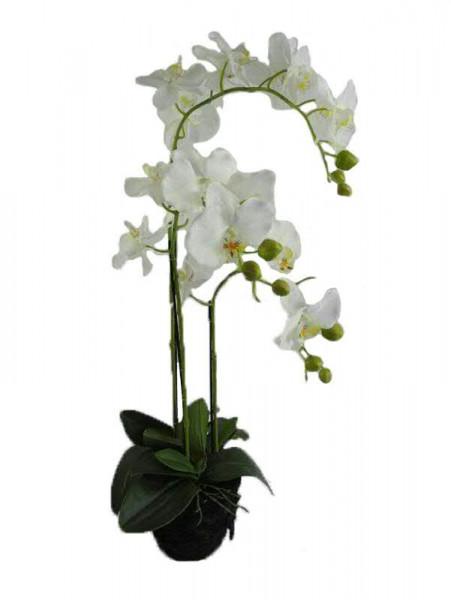 Phalaenopsis mit Ballen 80cm x3, creme