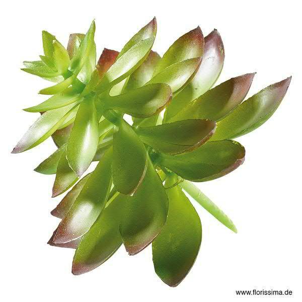 Echeveria 12cm Sukkulente, braun/grün