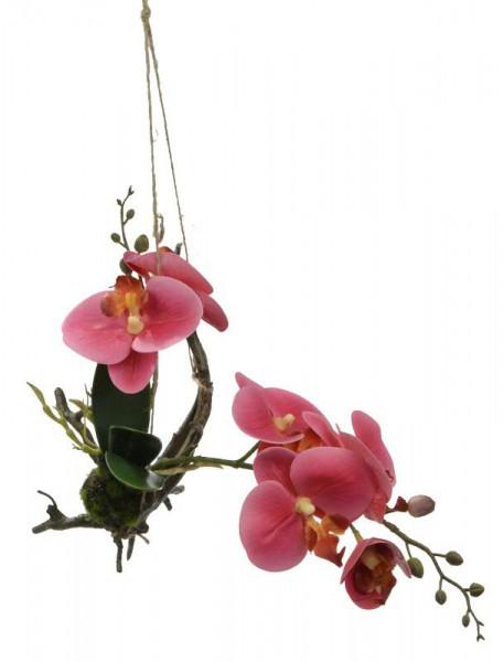 Phalaenopsis SP mit Wurzel 30cm, pink
