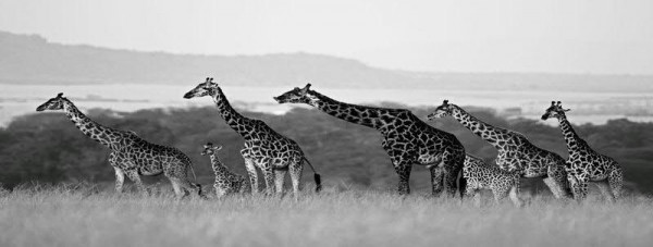 Bild Glas SP 160x60cm Giraffen