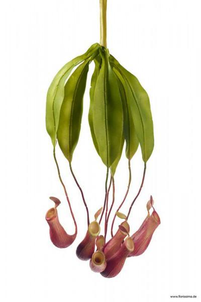 Kannenpflanze 45cm x6, rot