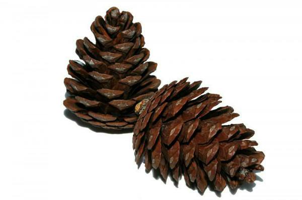 Halepensis 5-8cm, natur