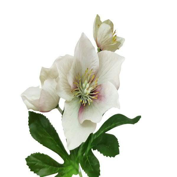 Christrose 33cm, pink/grün