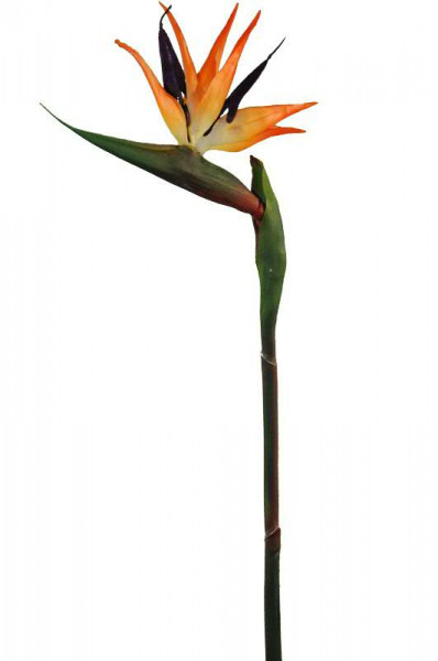 Strelitzie 84cm, orange