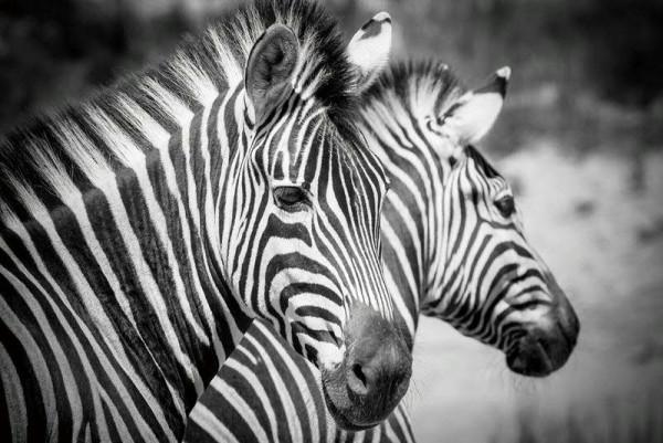 Bild Glas SP 120x80cm Zebra