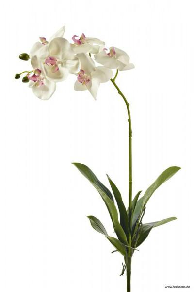 Phalaenopsis mit Blatt/Wurzel 80cm 6 Blüten, 3 Knospen, creme/pink