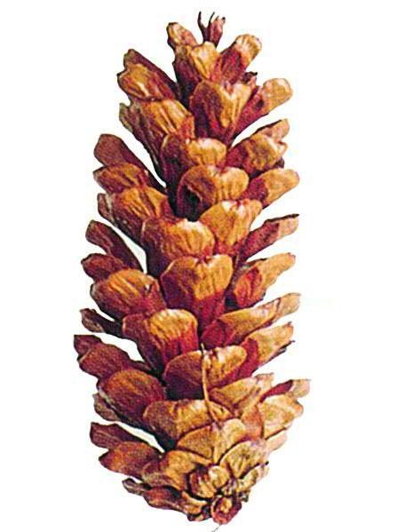 Pinus Peuce Zapfen, hell