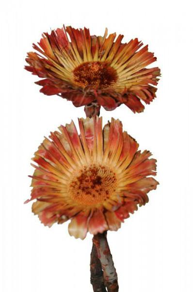 Macrophylla Rosette, rot