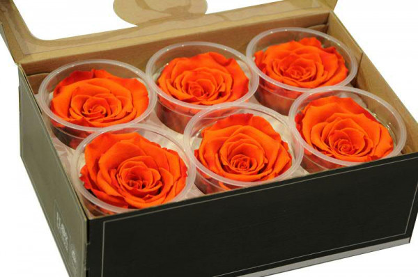 Rose stabilisiert D7cm extra groß, orange