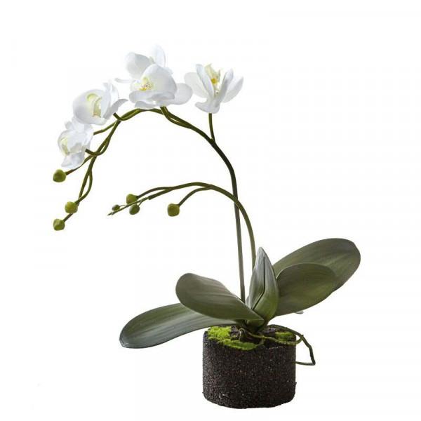 Phalaenopsis mit Ballen 50cm, weiß