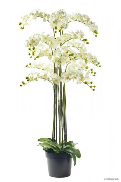 Phalaenopsis im Topf 152cm x13, weiß