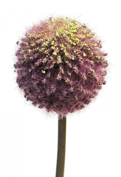 Allium 78cm, purple