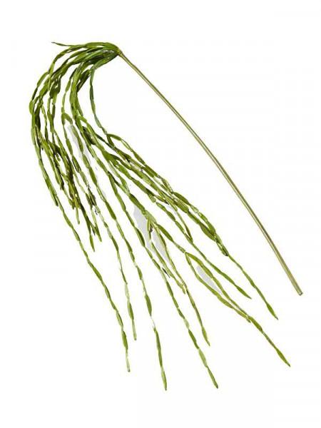 Rhipsalis Hänger 160cm Sukkulente, grün