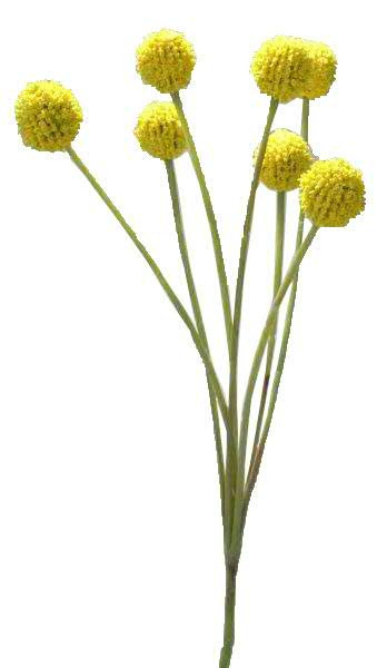 Klocke Deko craspedia 60cm gelb weitere einzelblumen einzelblumen