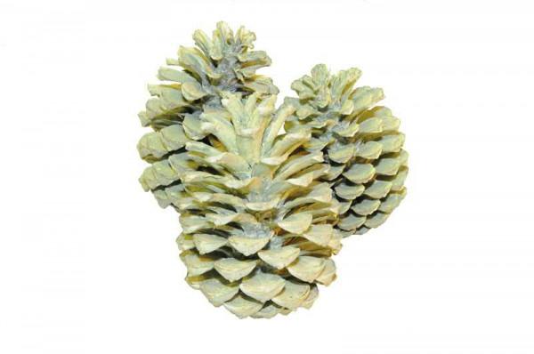 Maritima 5-10 Zapfen frosted, grün