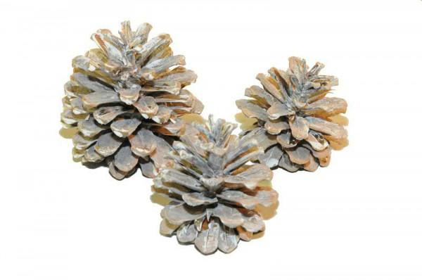 Pinus Maritima 12St., white wash